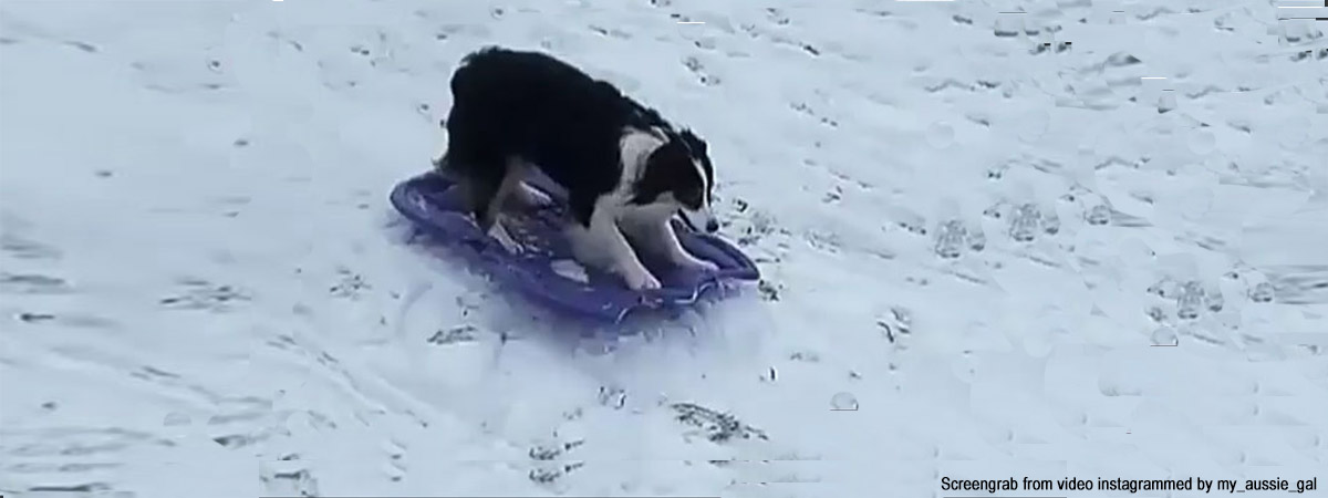 Did You Ever See Any Dog Sledding All By Herself, Makes This The Cutest Video Ever